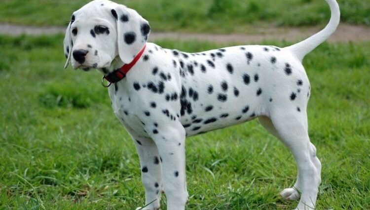 dalmatian puppies for sale los angeles